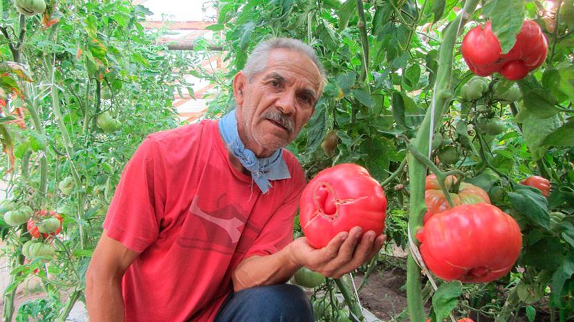 El agricultor José Flores, junto a la producción de tomates rosados (Foto: Internet)