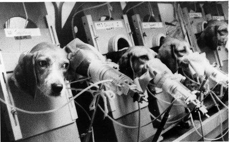 No se trata del placer de fumar. Estos perros de la raza Beagle, sujetos y con una mascarilla, eran obligados a fumar hasta 30 cigarrillos al día.
